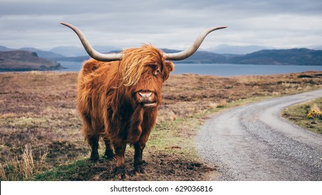 Hairy Scottish Yak on the road, Isle of Skye