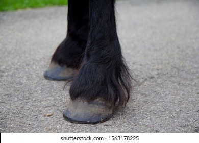 Hairy socks or fetlocks of  black Friesian horse. The fetlock is the joint between the hoof and the leg and is always quite hairy in the Friesian race. Can cause problems with parasites such as mites.
