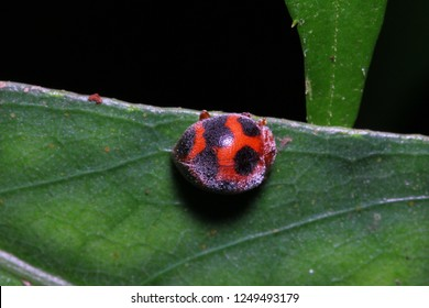 Hairy spotted leaf beetle, Epilachna sp., Henosepilachna sp., Coccinellidae on green leaf habitat.