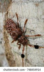 Hairy Tuft-bearing Longhorn Tropical Forest Insect sountern Thailand