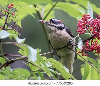 Hairy Woodpecker adult male perched on elderberry shrub eating an elderberry