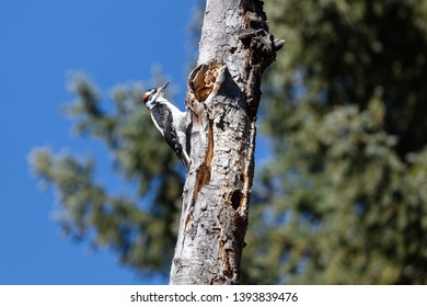 Hairy woodpecker (Leuconotopicus villosus) looking for food along the Slough Creek Trail