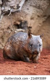 Hairy-nosed wombat, Australian marsupial.