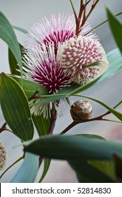 Hakea laurina (Pin-cushion Hakea) is one of the most beautiful native plants of south-western Australia. In Italy and America its uses include street and hedge planting.