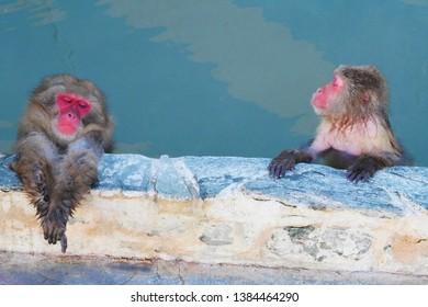 HAKODATE,JAPAN- 3 DEC 2018:monkey mountain Japanesesoaking in a hot spring at Hakodate Tropical Botanical Garden,Hokkaido,Japan