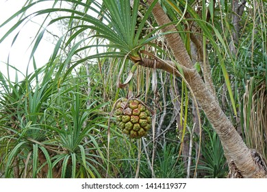 Hala fruit (Pandanus tectorius) or Tahitian screwpine, thatch screwpine, hala tree, pandanus, and pu hala is a species of Pandanus that is native to Malesia, eastern Australia, and the Pacific Islands
