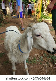 Halal slaughtering of lambs during Eid Al Adha Al Mubarak