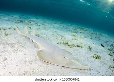 Halavi Guitarfish Glaucostegus halavi on the sea sand bed underwater