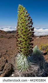 Haleakalal Silversword flower