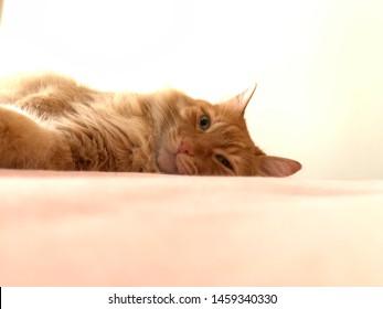 Half awake yellow orange tabby cat and yellow-white illuminated background