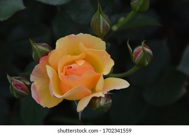 half bloomed yellow rose in closeup