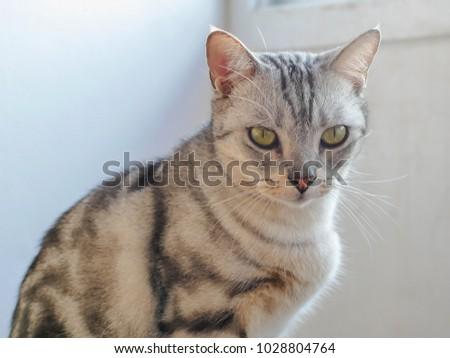 American Shorthair Cat Australia