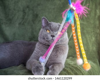 Half body shot of Beautiful male 1 year blue grey British shorthair cat with yellow green eyes wearing a colourful shirt with green background eating his cat snack and looking straight ahead to.