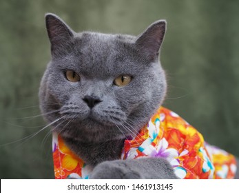 Half body shot of Beautiful male 1 year blue grey British shorthair cat with yellow green eyes wearing a colourfull shirt acting handsome to camera to show his face with green background