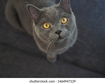 Half body shot of Beautiful male 1 year blue grey British shorthair cat with yellow green eyes siting on sofa with green background playing his cat toy and looking straight ahead to.