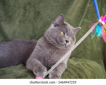 Half body shot of Beautiful male 1 year blue grey British shorthair cat with yellow green eyes siting on sofa and play cat toy with green background and copy space. cat lover concept