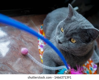 Half body shot of Beautiful male 1 year blue grey British shorthair cat with yellow green eyes siting on a ground floor and play cat toy with green background and copy space. cat lover concept
