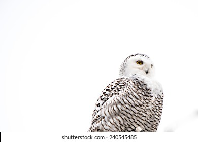 Half body shot of a snow owl.