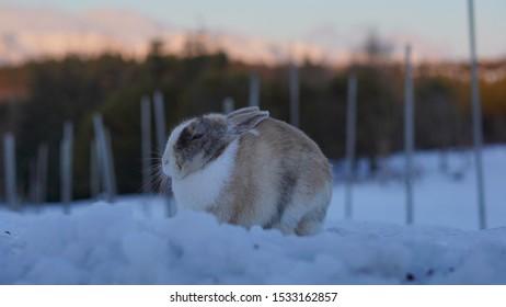 Half brown rabbit fur, half white snowshoe hare in Winter