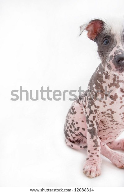half cropped hairless spotted mexican dog sitting on bum