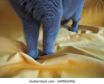 Half down body shot of Beautiful male 1 year blue grey British shorthair cat with yellow green eyes standing on sofa with yellow background and  copy space. cat food and toy concept