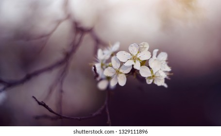 Half the dried-up cherry branch with spring flowers.