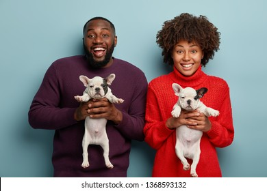 Half length shot of cheerful Afro couple like animals, hold two newborn french bulldog puppies, find host for pets, smile broadly, stand next to each other over blue background. Little pedigree dogs