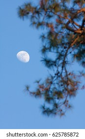 Half moon appear in the afternoon time in the sky with brach of tree at the foreground