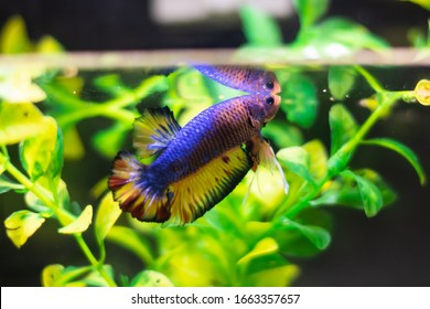 Half moon Betta fish reaching the surface with a plant background