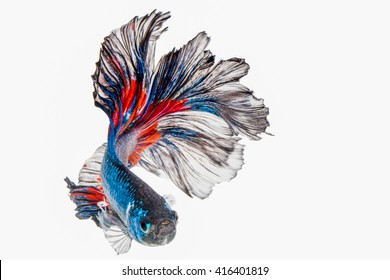 Half Moon Dampo Betta fish, Capture the moving moment of siamese fighting fish on white background