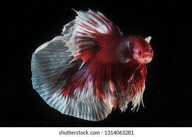 half moon lavender color Betta Fish
