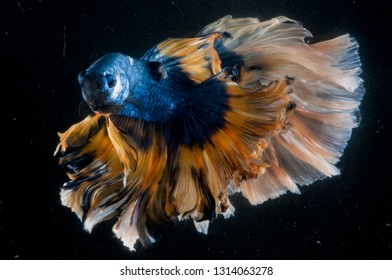 half moon rosetail color blue yellow Betta Fish