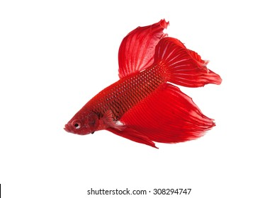 Half moon, siamese fighting fish, Beta fish on white background.