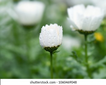 Half open Snow Daisy (Leucanthemum paludosum) also known as  Northpole chrysanthemum, in spring dew. Shallow depth of field. Floral background.