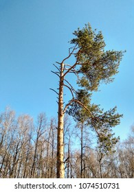 half of pine tree is dried and broken