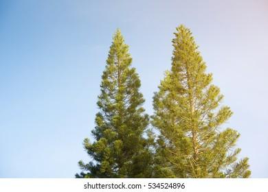 half of pine tree on blue sky.