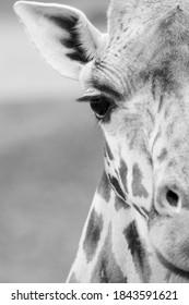 A half portrait of a giraffe