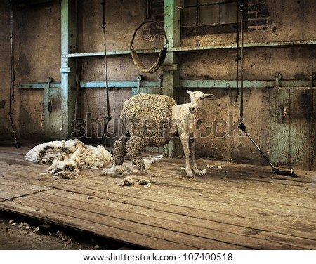 Half shorn sheep in an old rural shearing shed.