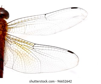 half side of a red dragonfly on white background