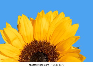 Half of sunflower isolated on blue background