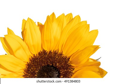 Half of sunflower isolated on white background