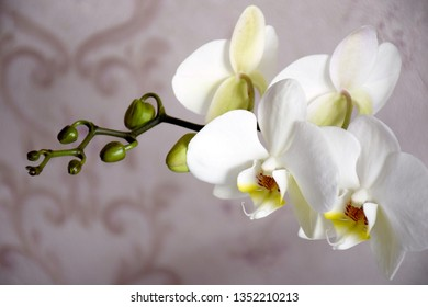 Half-blooming branch of white orchid, unopened buds. White orchid inflorescence with copy space and selective focus. Spa and Wellness flowers style.