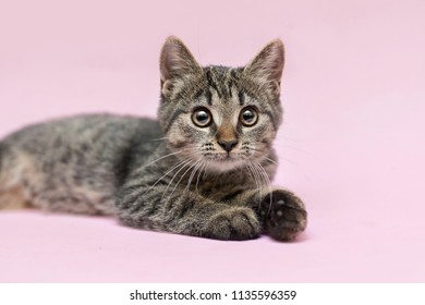 half-breed kitten is laying on a pink background