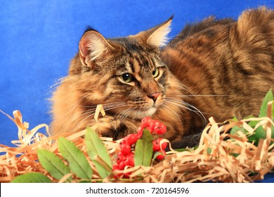 Half-breed maine coon and toyger cat on a blue background with rowan berries