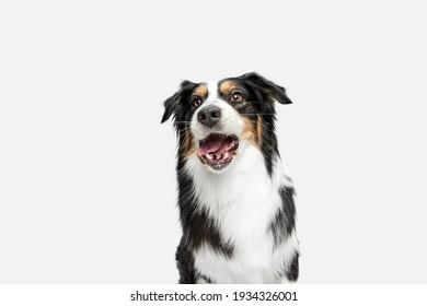 Half-length portrait of Australian Shepherd dog isolated over white background.