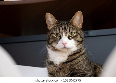 Half-length portrait of a domestic cat. The cat has a stern look. Eyes a little to the right