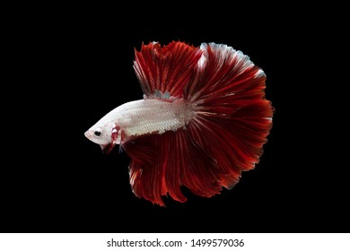 """""""Halfmoon Betta"""" capture the moving moment beautiful of siam betta fish in thailand on black background"""