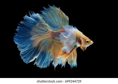 """Halfmoon Betta"" capture the moving moment beautiful of siam betta fish in thailand on white background"