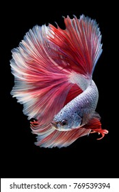 """Halfmoon Betta"" capture the moving moment beautiful of siam betta fish in thailand on black background"