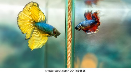 Halfmoon betta fish Colorful fish fight in the lake. This is a species of ornamental fish used to decorate the scene in the house